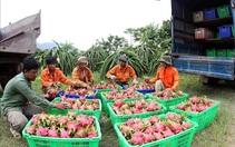 Thanh long Bình Thuận có 'giấy thông hành' vào thị trường khó tính