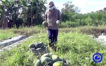 Trồng dưa hấu trái chín đúng mùa dịch, nông dân Tiền Giang kiếm bộn tiền