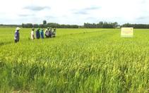 Phân bón Bình Điền tham gia chương trình giảm lượng giống, canh tác lúa thông minh