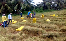 Thương lái nở to mũi gom mua lúa trong mùa dịch Covid-19