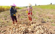 Trung Quốc mua 1,82 triệu tấn, giá sắn tăng mạnh