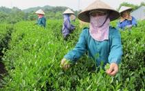 Chè Việt Nam được thị trường Đài Loan ưa chuộng số 1, nhưng giá chỉ bằng 1/3 đối thủ