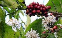 Brazil tăng diện tích Robusta, đe dọa vị thế số 1 của cà phê Việt Nam