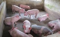 Giá thức ăn chăn nuôi tăng cao nhưng giá lợn hơi giảm