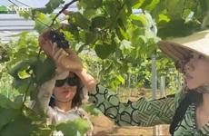 Trồng 6 giống nho Nhật Bản trên đất Đồng Nai, nữ chủ vườn bán không kịp hái