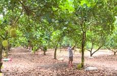 Đồng Nai: Trái cây hè bước vào vụ thu hoạch, người thu tiền tỷ, kẻ chỉ mong huề vốn