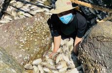 """Quảng Ngãi: Người nuôi cá lồng bè, nuôi tôm """"mất trắng"""" sau bão số 5"""