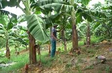Thái Nguyên: Trồng chuối tiêu hồng cho hiệu quả kinh tế trên vùng đất Quân Chu