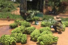 Giá chuối rớt còn 4.000 đồng/kg, nông dân đứng ngồi không yên