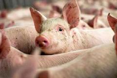 Giá heo hơi hôm nay 8/7: Giá nhập rẻ, thịt lợn bán ra vẫn đắt