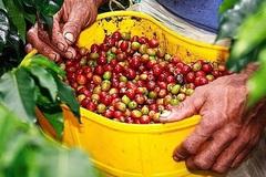 Giá nông sản hôm nay 12/4: Tiêu đạt ức 74 triệu đồng/tấn, cà phê ổn định