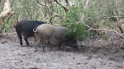 Liều lĩnh nuôi lợn rừng trên đất cát bỏ hoang, mô hình làm giàu cả xã học hỏi
