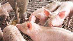 Quản lý chặt thức ăn chăn nuôi chứa kháng sinh