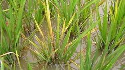 Cảnh báo dịch bệnh tuần này (từ 09/10 đến 15/10): Sâu đục thân 2 chấm gây bông bạc trà lúa muộn