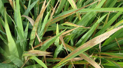 Cảnh báo dịch bệnh tuần này (từ 16/10 đến 22/10): Nguy cơ cháy rầy, sâu đục thân gây bạc bông