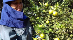 Giá nông sản hôm nay: Chanh tươi rẻ bèo 1.000 đồng/kg, nông dân lỗ nặng