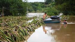 'Thủ phủ' thanh long Bình Thuận nguy cơ mất trắng do mưa lũ