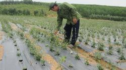 Cam Lộ làm giàu, đột phá từ những cây trồng mới