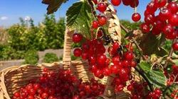 Ngưỡng mộ vườn cây trái sai trĩu của những nông dân phố người Việt nơi xứ xa