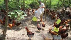 Phát triển chăn nuôi Gà đồi Ba Vì, đưa nông sản an toàn đến người tiêu dùng