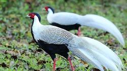 Chiêm ngưỡng vẻ đẹp của gà lôi trắng quý hiếm trong sách đỏ ở Việt Nam