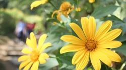 Du khách nô nức chụp ảnh với hoa dã quỳ vàng rực ở Ba Vì