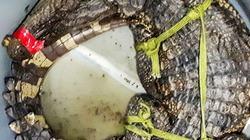 Liên tục xuất hiện cá sấu trong vuông tôm, người dân lo lắng, bất an