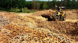 Giá mì nguyên liệu tăng đột biến doanh nghiệp ráo riết thu mua