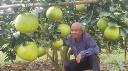 Kinh ngạc với vườn bưởi da xanh cho 3 tỉ từ vụ đầu bói quả