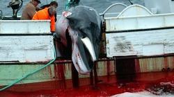 Mỗi năm có gần 500 cá voi xám bị săn và giết tại Iceland