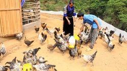 Chàng trai Mông lên núi chăn nuôi gà đen, lập tổ nuôi ong rừng lấy mật