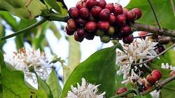 Bất thường hàng ngàn ha cà phê ra hoa trái vụ không mong đợi