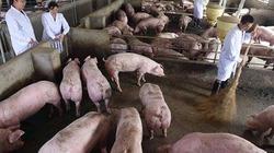 Nuôi lợn quy mô lớn, Trung Quốc tham vọng thâu tóm thị trường thịt lợn toàn cầu