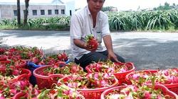 Vào HTX trồng thanh long chất lượng cao, nông dân giàu nhanh