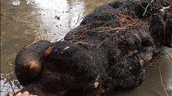 Những củ khoai kỳ lạ đào được ở Nghệ An