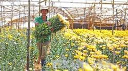 Hoa cúc vụ Tết nguy cơ mất mùa do bệnh lạ