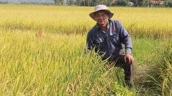 Lão nông lộ bí quyết trồng lúa chín vàng, hạt mẩy mà không phun thuốc
