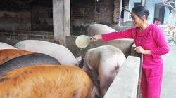 Lợn gặm hết vốn cuống cuồng gỡ gạc dịp cuối năm