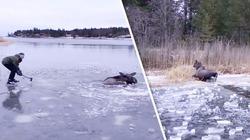 Người dân dùng rìu đập nứt hồ băng, giải cứu nai mắc kẹt