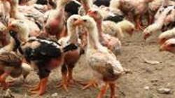 Kỹ thuật chăm sóc gà con nuôi thả vườn