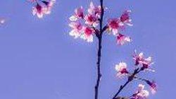 Sắc hồng mai anh đào trong nắng xuân Đà Lạt