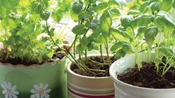 5 loại rau thơm dễ trồng, đẹp nhà thích hợp trong mùa xuân