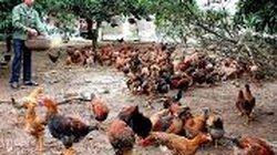 Các bước cần thiết khi nuôi gà thả vườn