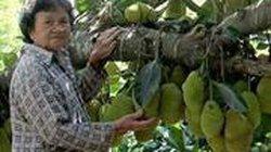 Kinh ngạc cây mít 500 trái mọc trĩu trịt từ gốc đến ngọn
