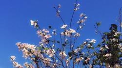 Ngắm hoa ban trắng tinh khôi ở Điện Biên