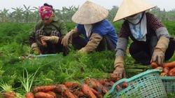 Có liên kết, người trồng cà rốt vẫn lo ngay ngáy