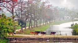 Hương quê trong tháng Ba mùa hoa gạo