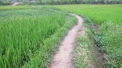 Con đường ra ruộng lúa thân quen