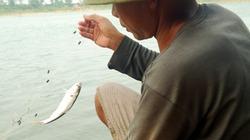 Đánh bắt cá mòi sông Lam kiếm tiền triệu mỗi ngày