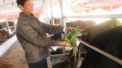 Trồng cỏ nuôi bò lai thu tiền tỉ